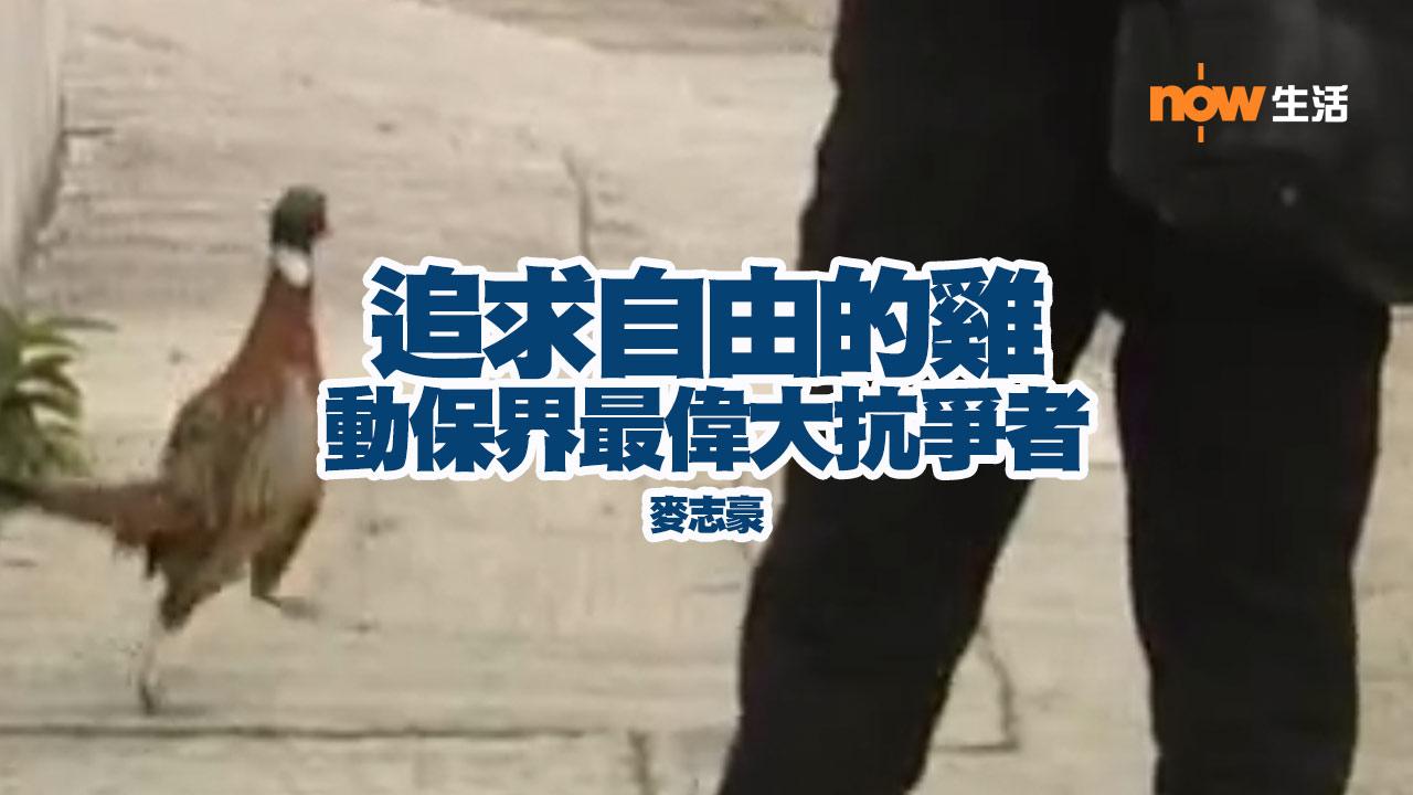 〈人面獸心〉抗爭者 追求自由的雞-麥志豪