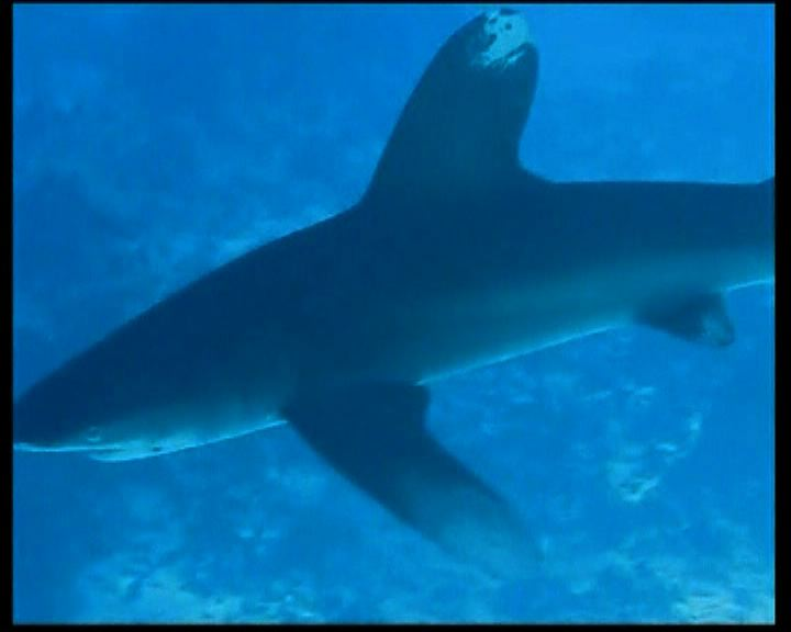 歐盟擬進一步禁止捕鯊取翅