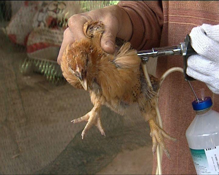 袁國勇:須研究雞隻疫苗的效用