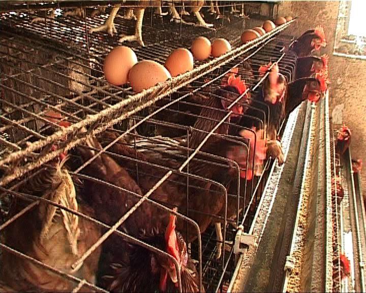 美國投訴中國對雞肉徵收高關稅