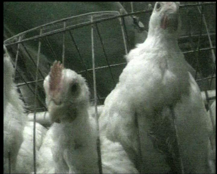 內地麥當勞吉野家買入問題雞肉
