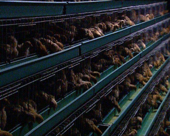 當局正調查染禽流感男童感染源頭