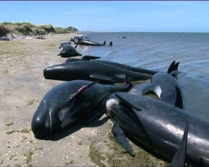 新西蘭近百條領航鯨擱淺
