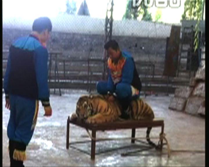 首都專線:老虎被虐打迫拍照遭抨擊