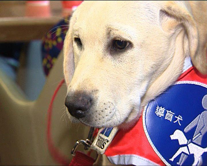 香港首引入導盲幼犬助視障人士