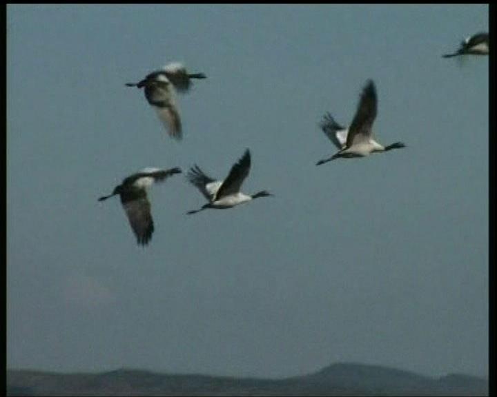 H7N9或帶南韓野鳥病毒基因