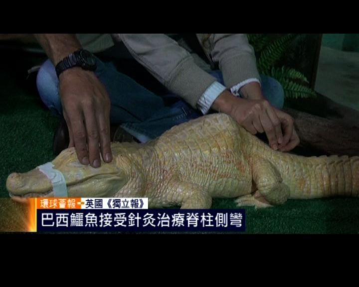 環球薈報:巴西鱷魚針灸治療脊柱側彎