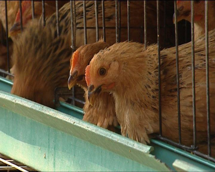 禽流病毒變種雞場轉新疫苗