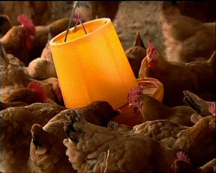 政府研究在內地農場引入雞隻血清測試