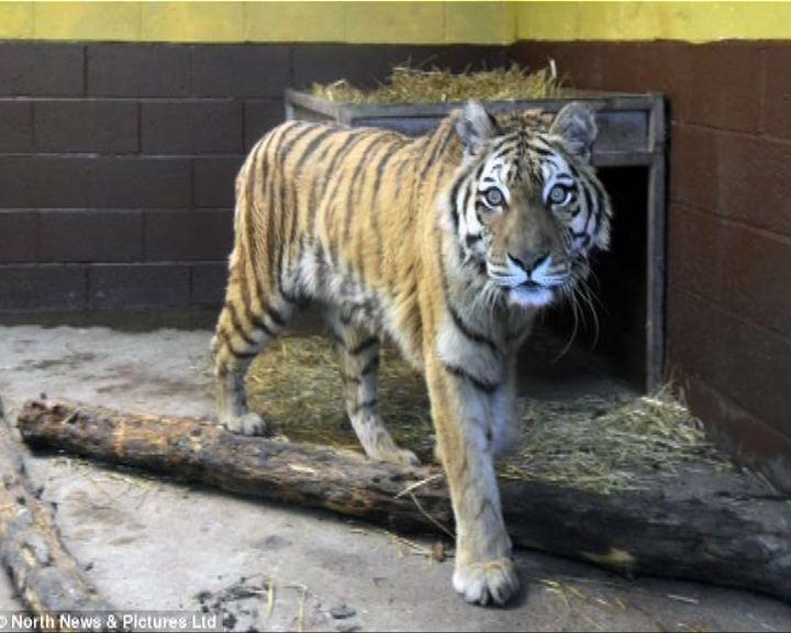 英動物園員工被老虎咬死惹爭論