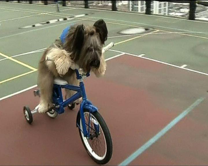 美國三歲牧羊犬諾曼懂得踩單車