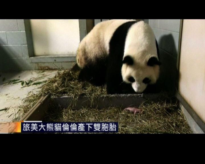 大熊貓倫倫在美國誕下雙胞胎