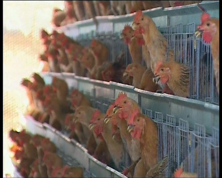 高永文不同意永久終止輸入內地活雞