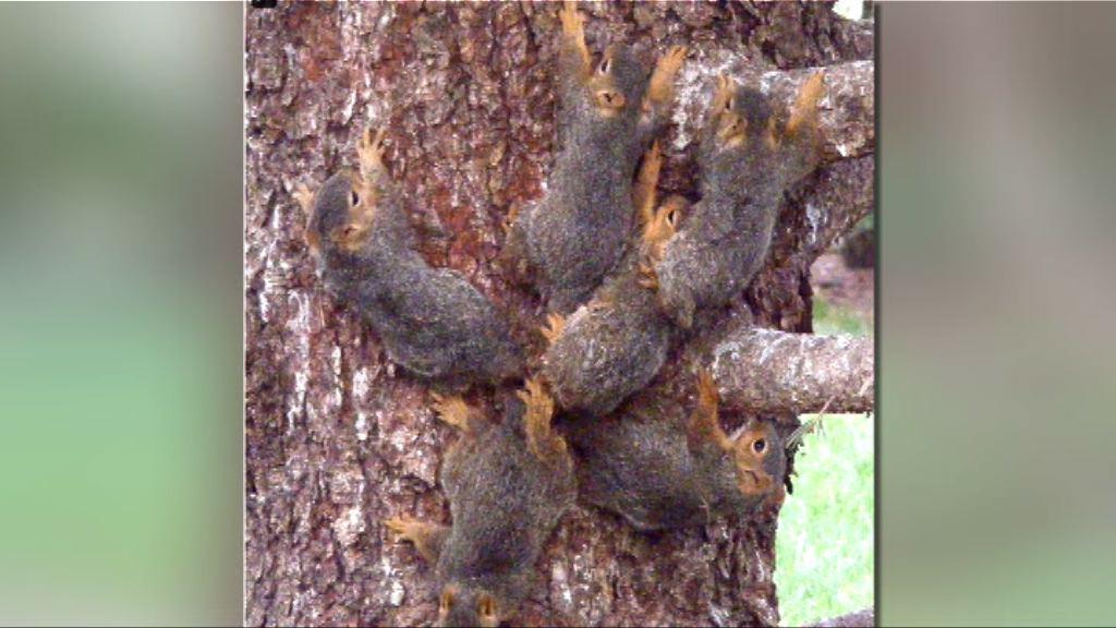 【環球薈報】六隻小松鼠尾部相纏難分難離