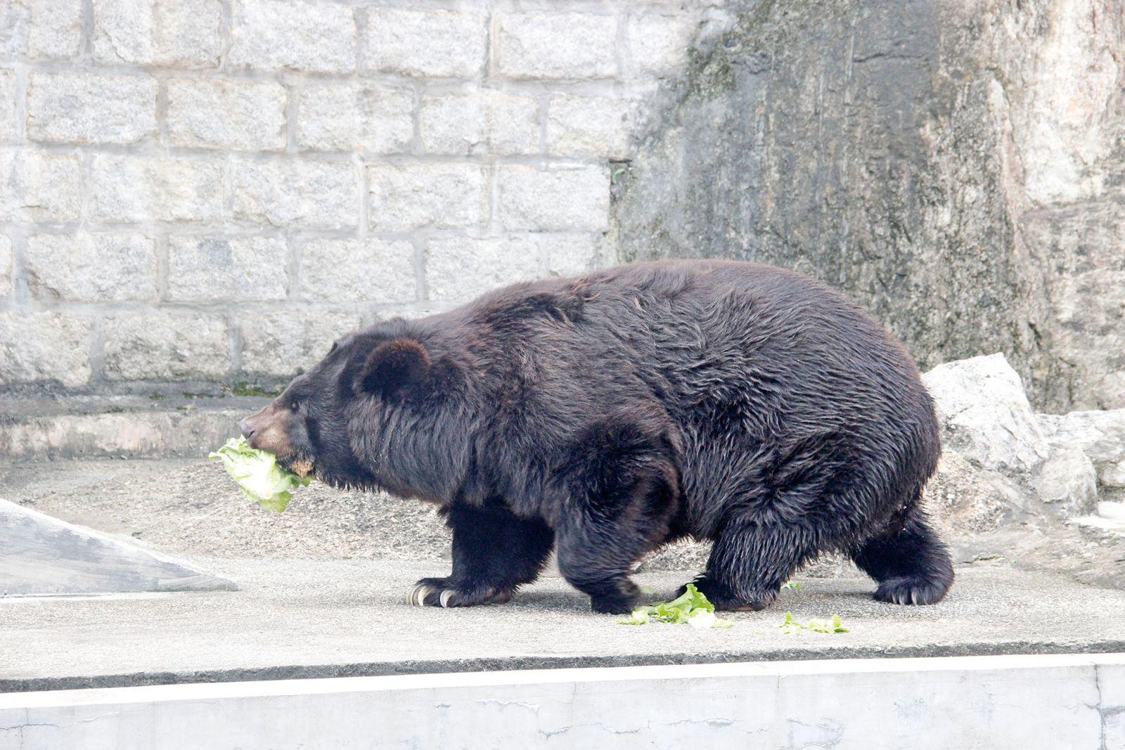 在二龍喉公園內渡過了三十五年的黑熊BOBO