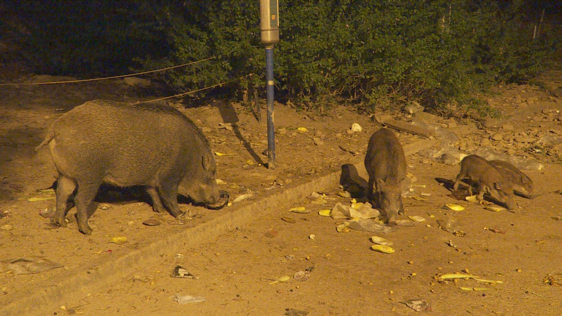 漁護署研究設計新垃圾桶防野豬推跌