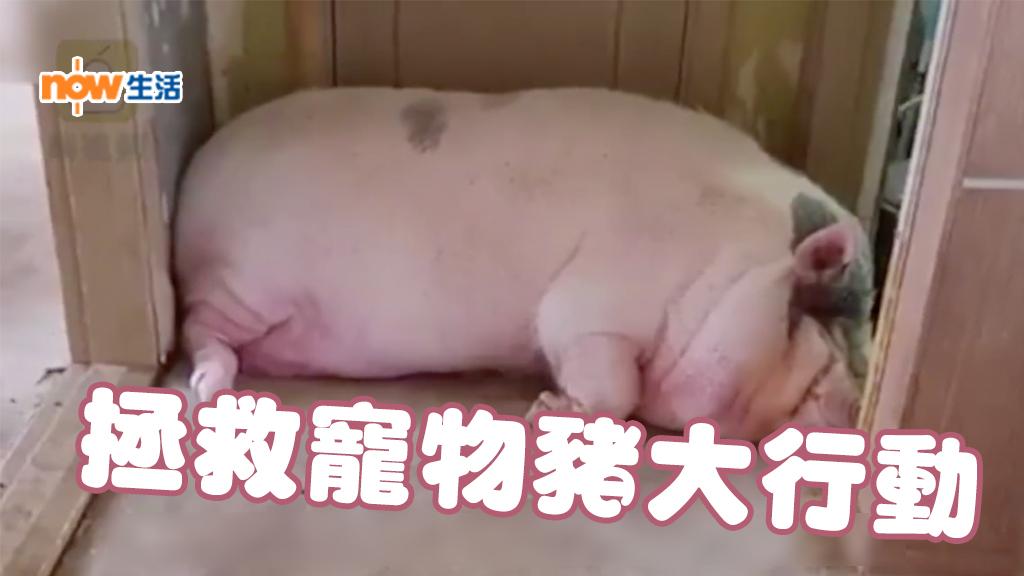 【片】韓男寵物豬養到300公斤 政府出手拯救