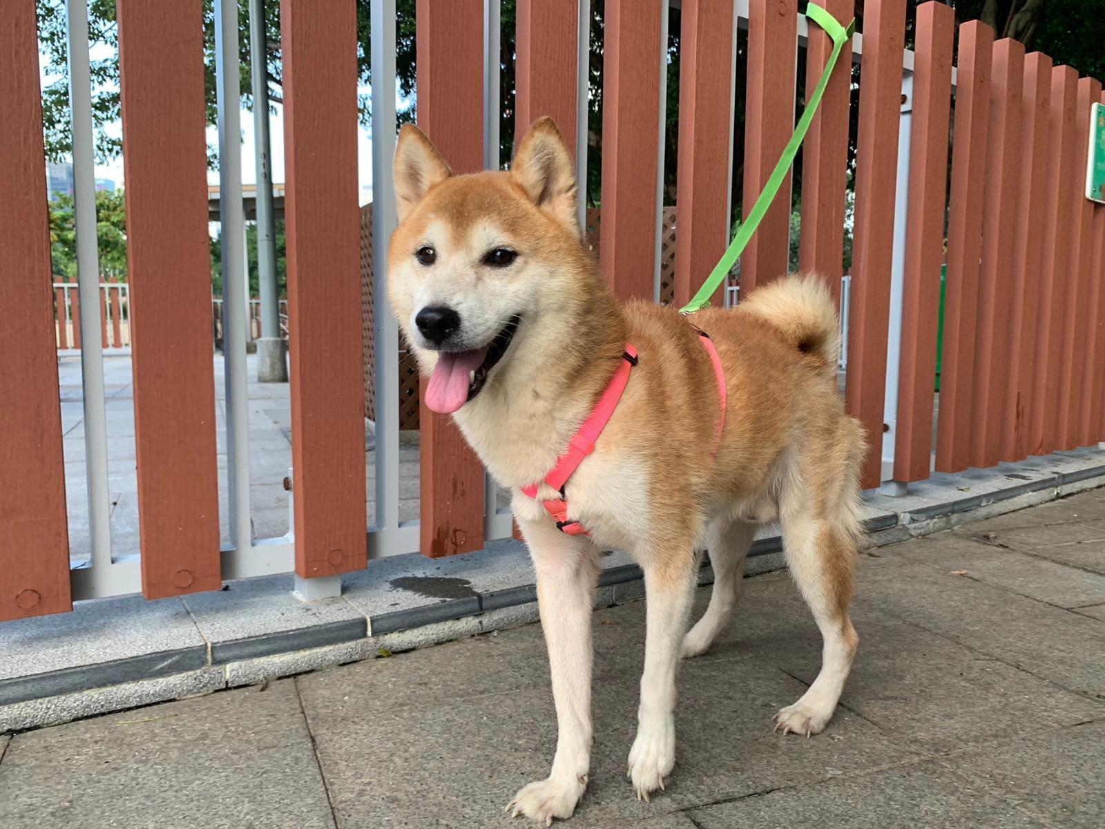 【領養不棄養】寵物店狠棄8隻柴犬 動物機構現開放登記領養