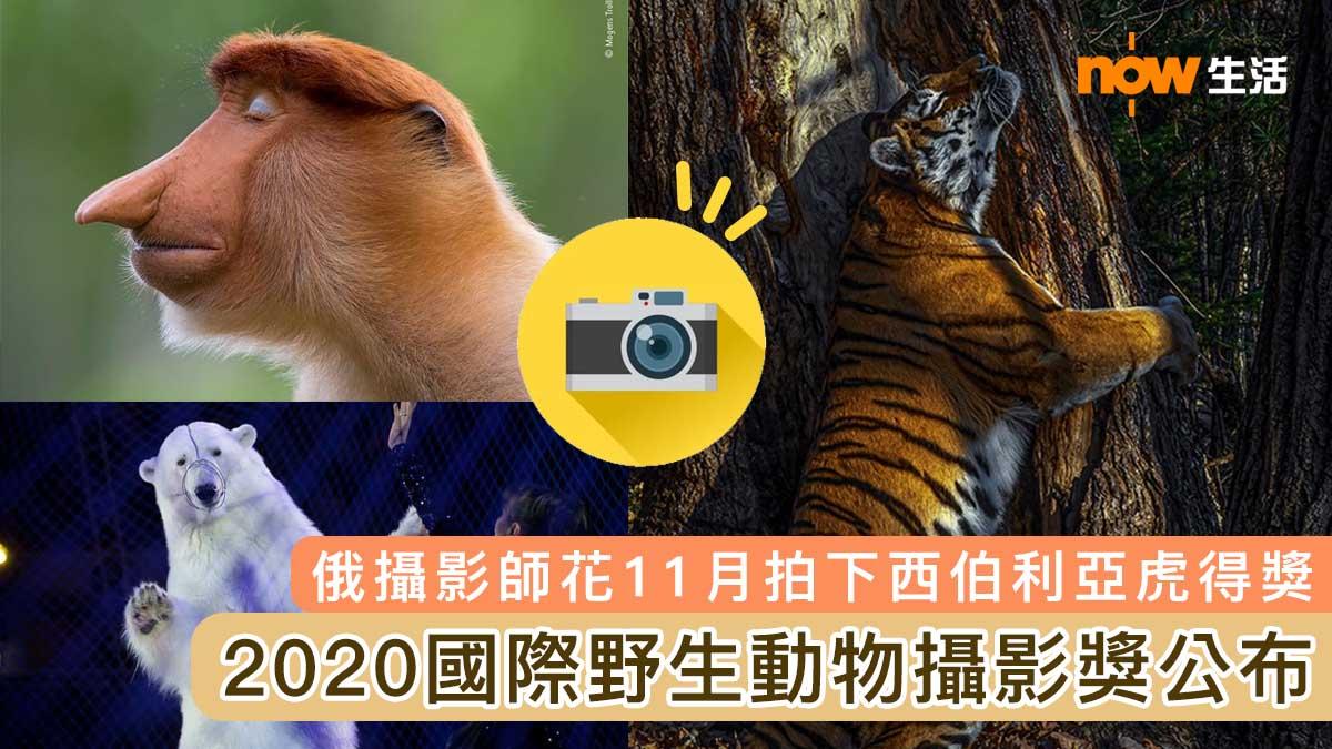 【多圖】2020國際野生動物攝影獎公布 俄攝影師花11月拍下西伯利亞虎得獎