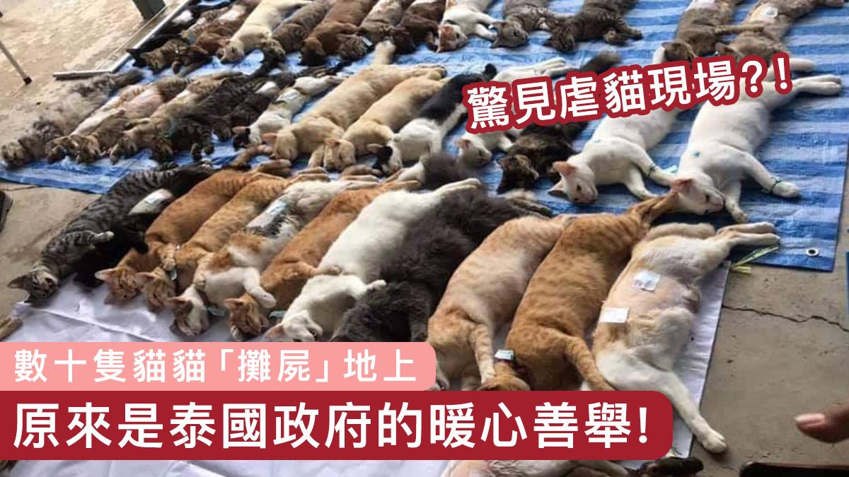 【虐貓疑雲】數十貓貓「攤屍」地上 原來是泰國政府的善舉!