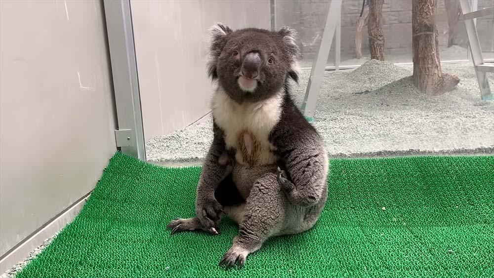 〈好笑〉日本農場樹熊坐姿像醉酒大叔 影片網上爆紅