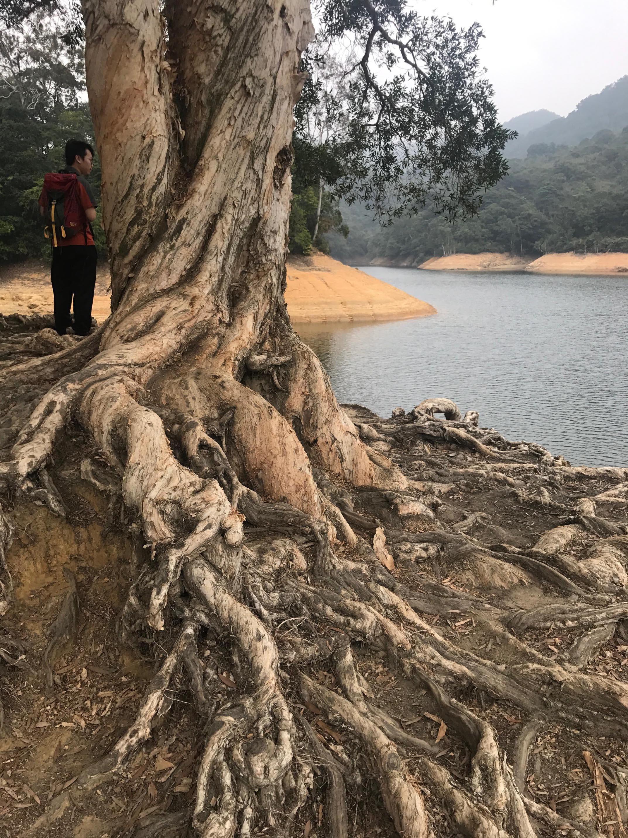 縱橫交錯的樹根凸顯其生命力