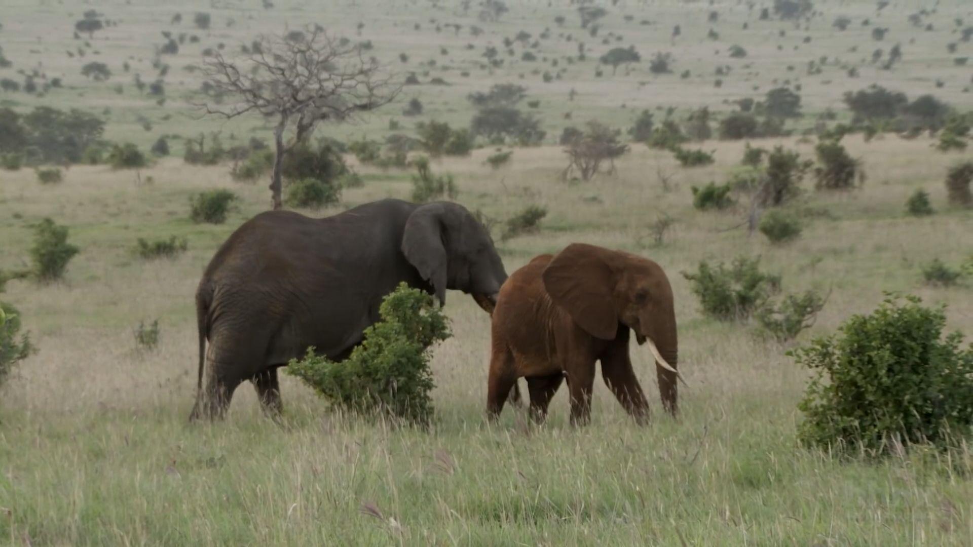 科學家研發人工智能系統點算非洲大象