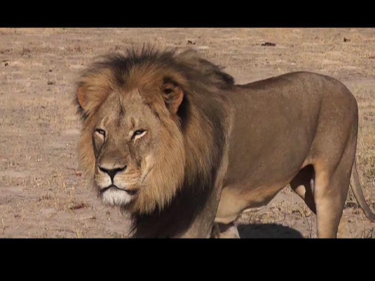 非洲津巴布韋明星獅子被獵殺