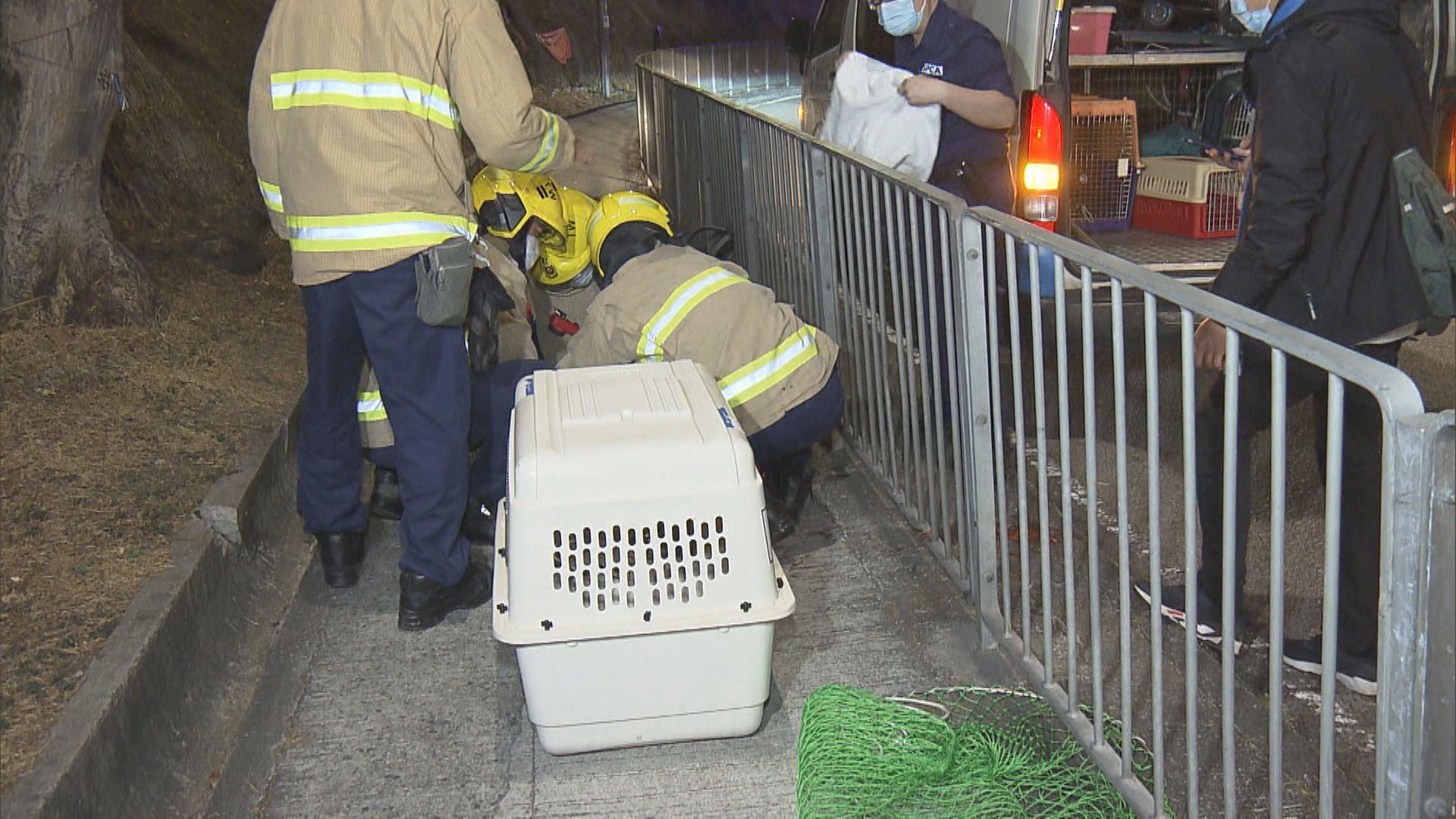 荃灣一隻赤麂疑遭車撞受驚衝鐵欄被困