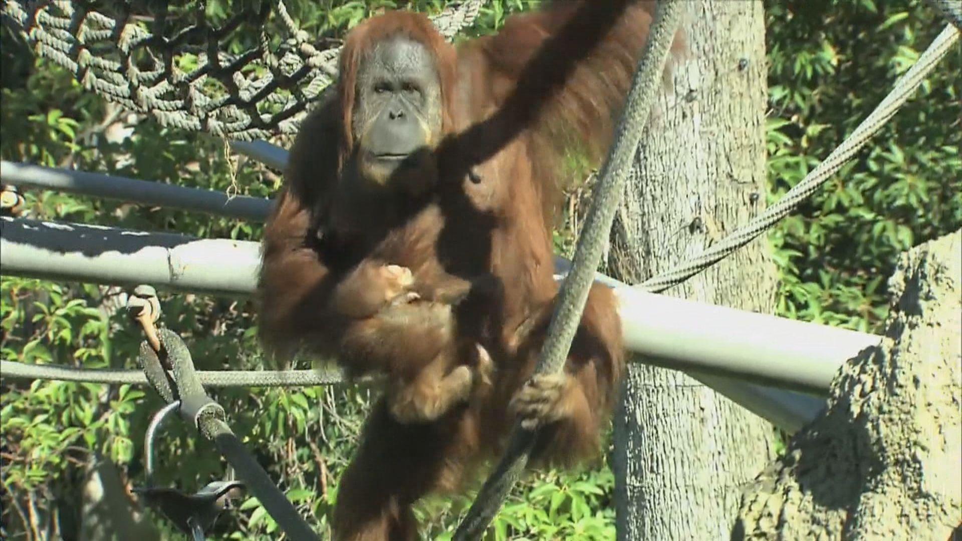 美國聖地亞哥動物園多隻猩猩接種新冠疫苗