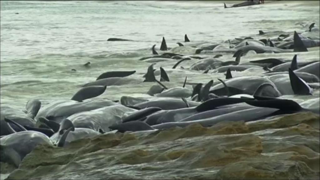 澳洲珀斯逾150條鯨魚擱淺
