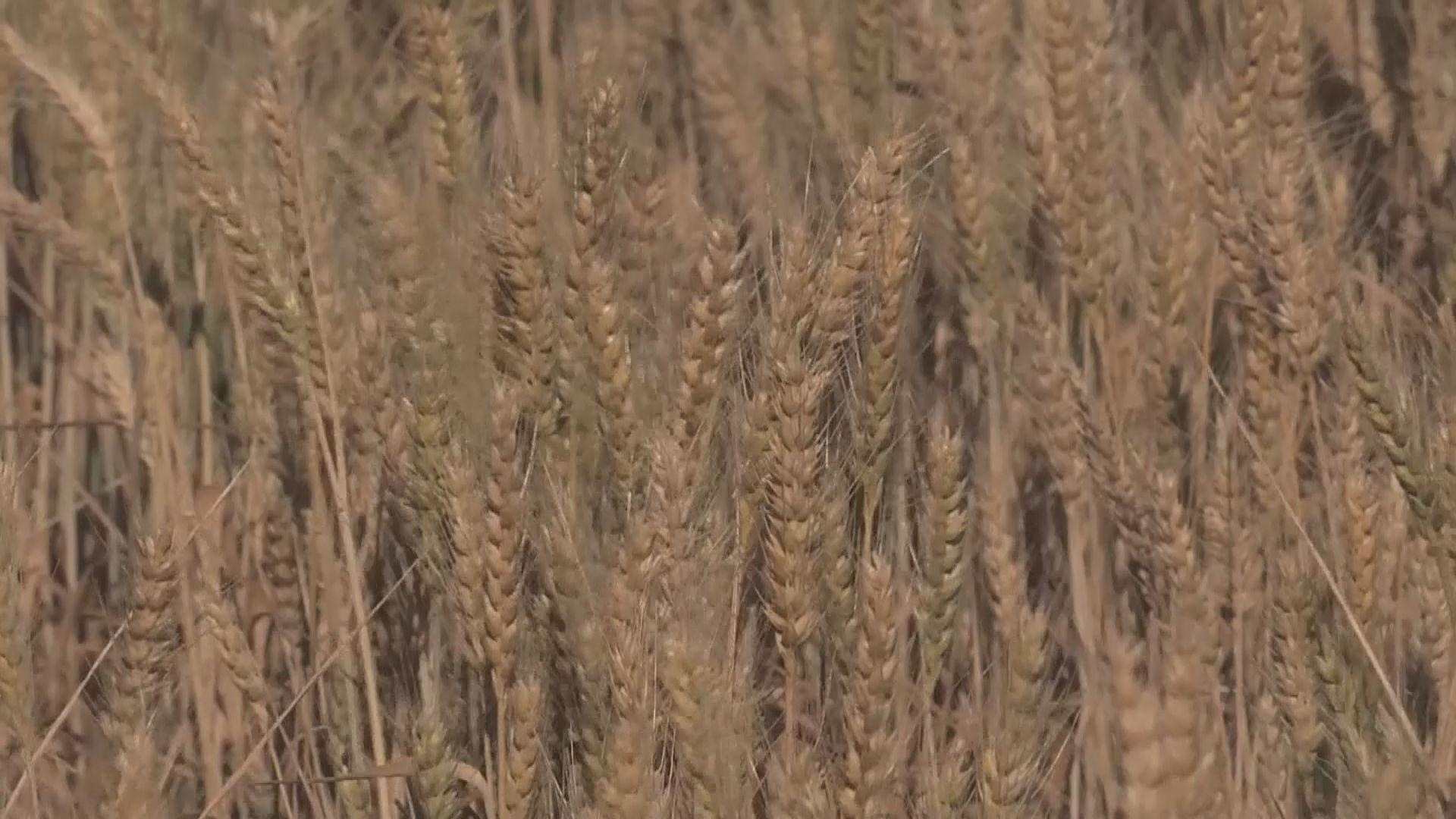 澳洲將就大麥徵稅向世貿申訴 中方促澳洲勿針對華企