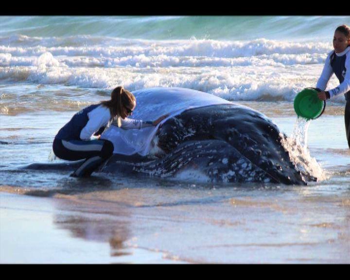 鯨魚擱淺黃金海岸36小時獲救