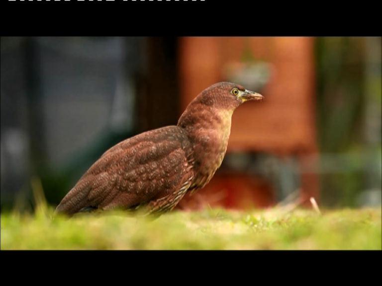瀕危雀鳥栗鳽26年後再現香港