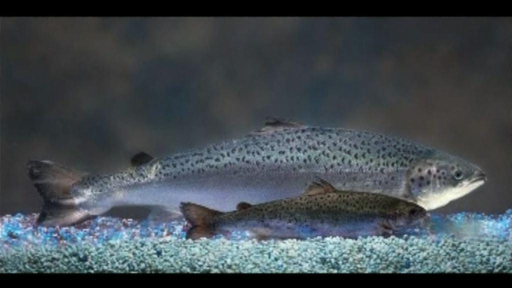 加拿大批准售賣基因改造三文魚