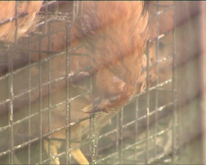 元朗涉事雞場已暫停供應雞隻