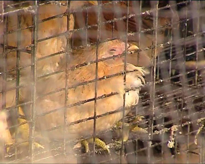 漁護署指新田雞場停電致雞隻死亡