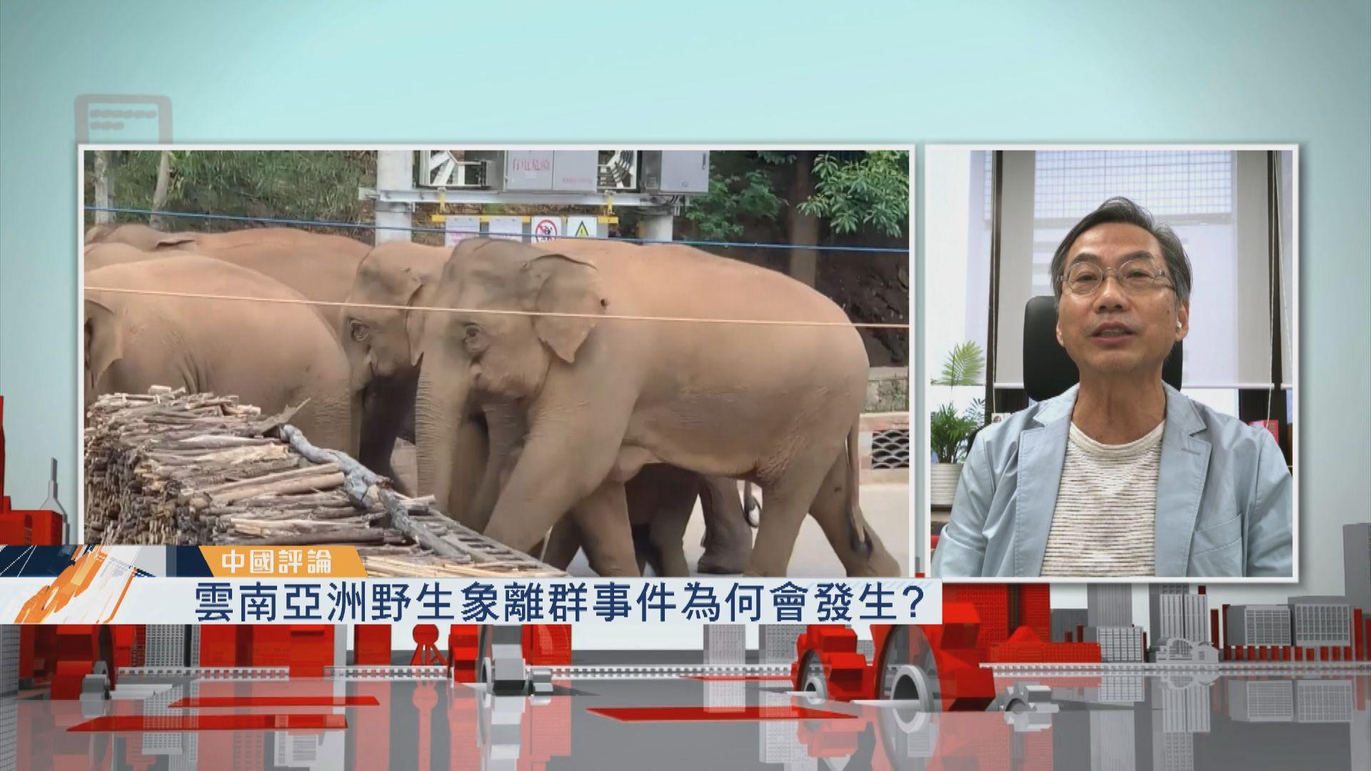 【中國評論】雲南亞洲野生象離群事件為何會發生?