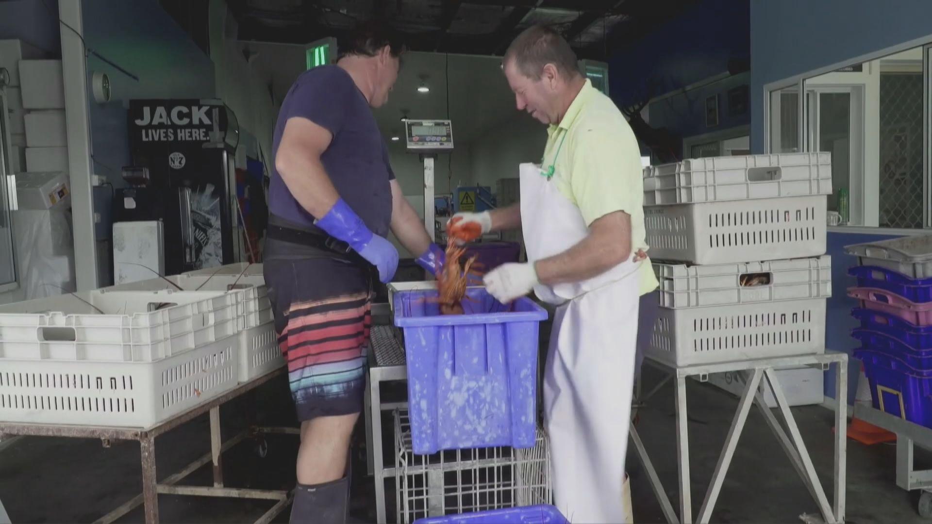 中澳關係持續緊張 數以噸計澳洲龍蝦滯留在中國機場
