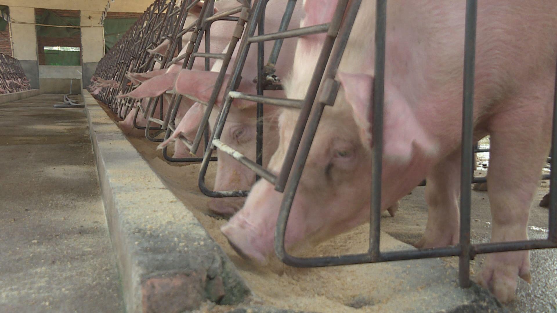 內地非洲豬瘟疫情蔓延至珠海