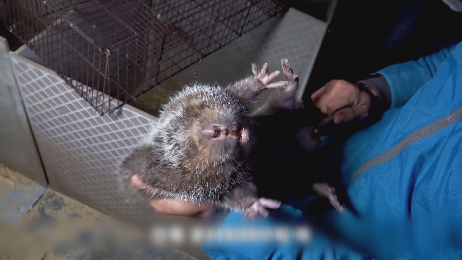 內地食用竹鼠成風 養殖戶網上拍片教授烹煮