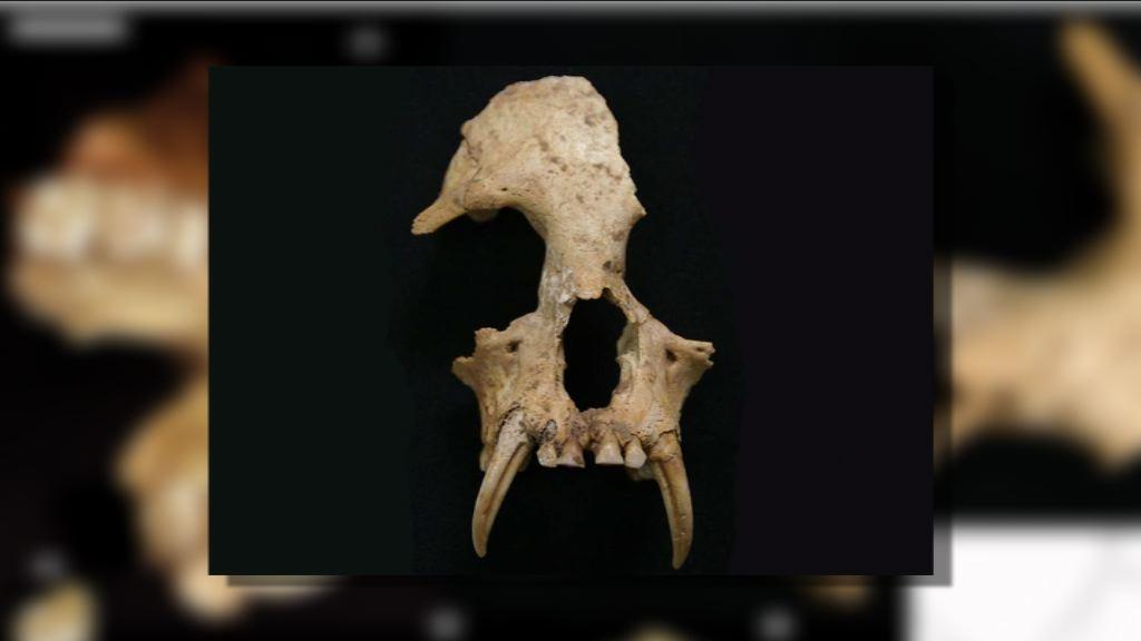秦始皇祖母陵發現絕種長臂猿骸骨