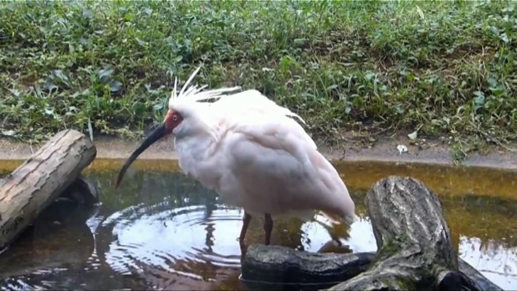 瀕危鳥類朱䴉數目突破三千隻