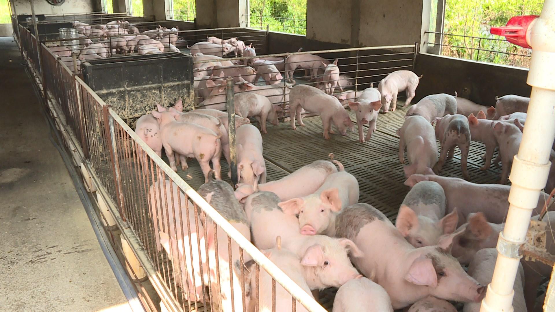 北京舉行國際豬瘟會議 台灣不獲邀請