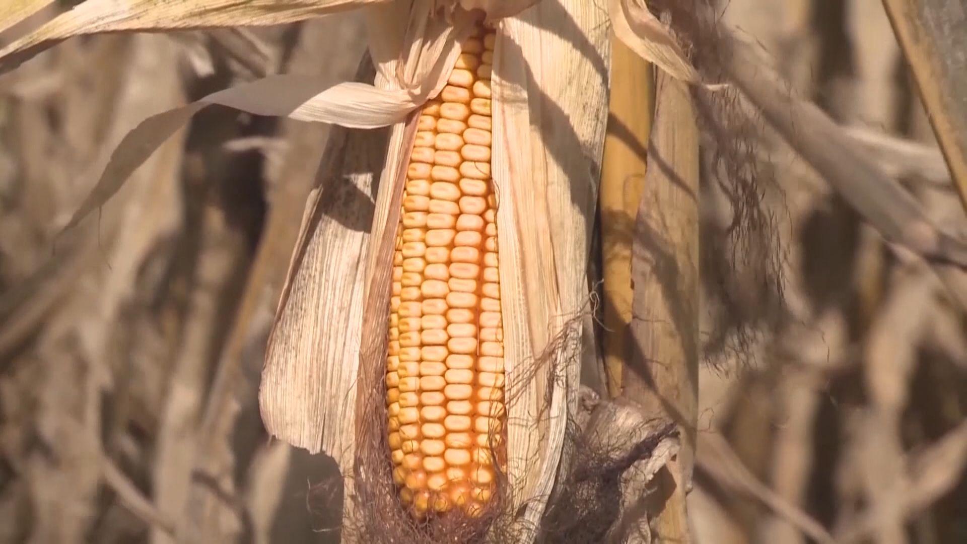 中方據報未承諾增購美農產品