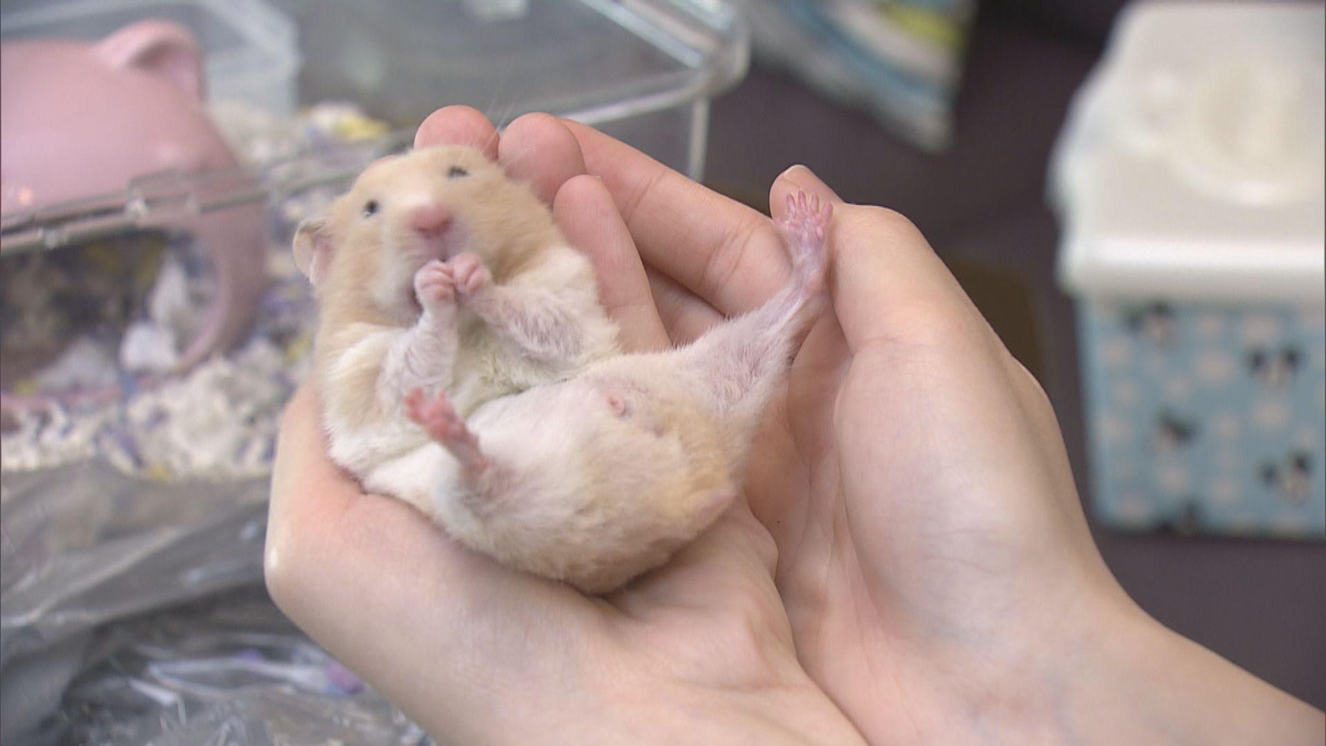 倉鼠成熱門寵物 惟不少人錯誤飼養甚至棄養