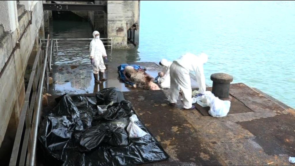 葵涌海面發現小抹香鯨屍體