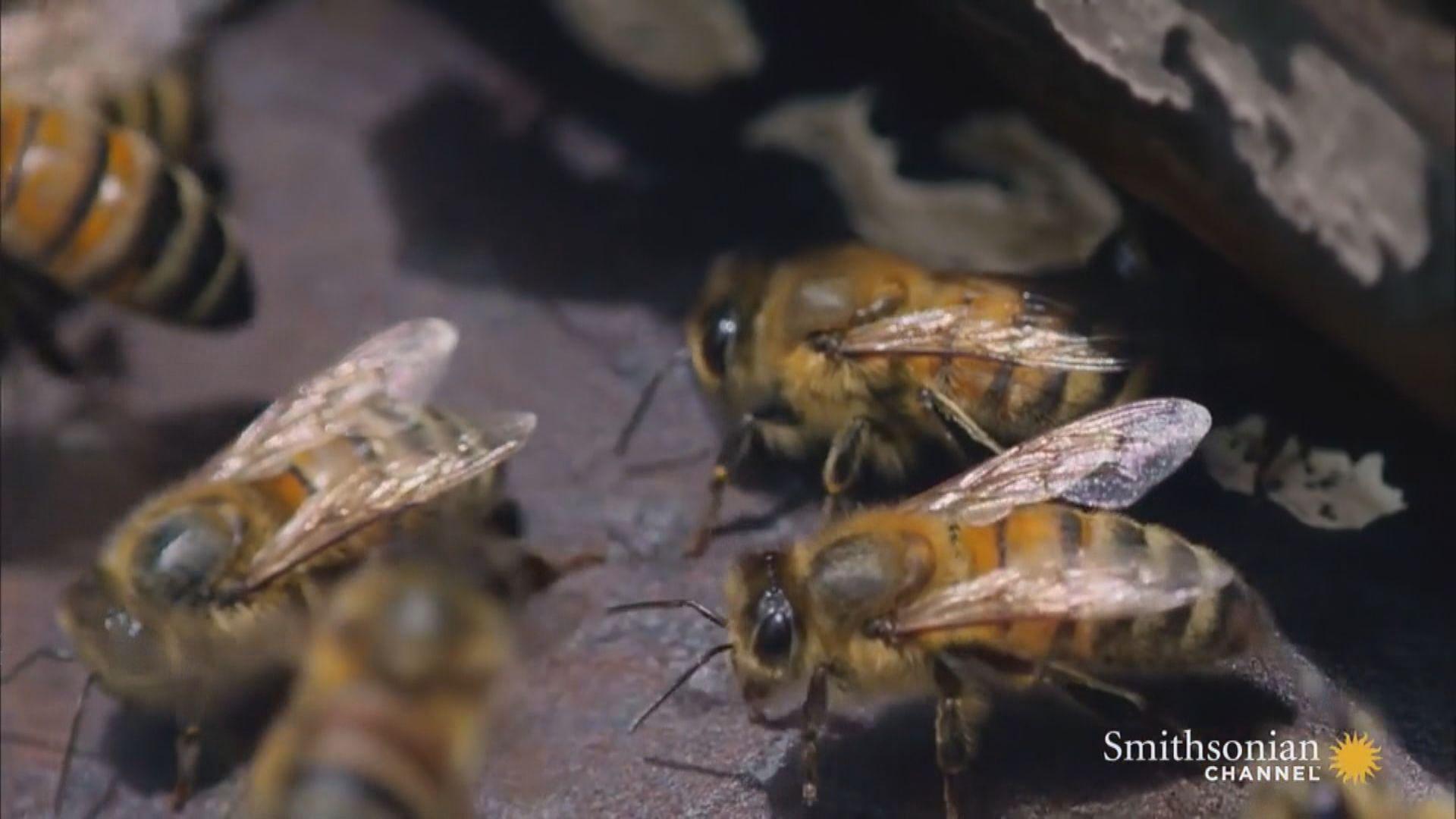 美國科學家研究日食期間蜜蜂活動
