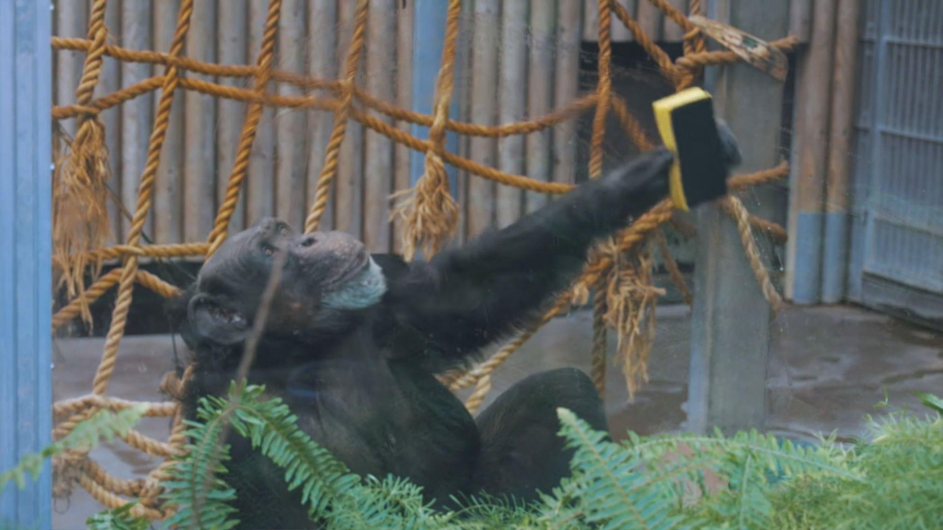 愛沙尼亞動物園大猩猩打掃籠舍