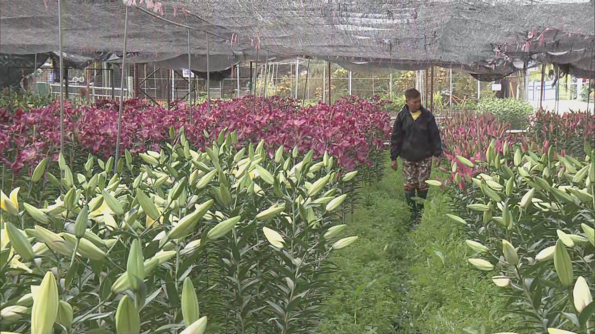 花巿重開但批發市場仍取消 有花農開放農場予市民買花